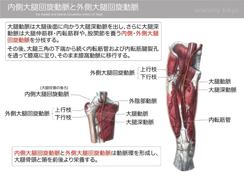 2013-h25-medial-and-lateral-circumflex-artery-of-thigh.jpg