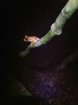 frogging in malaysia