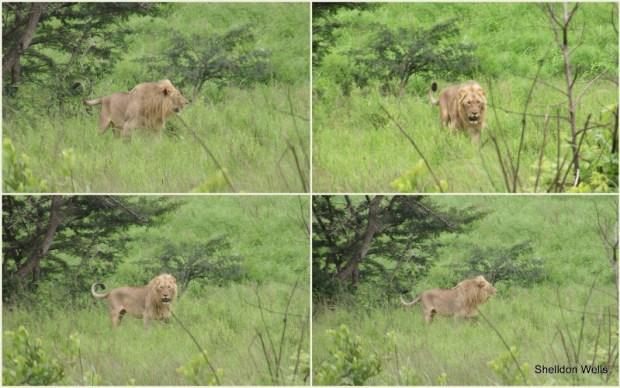 Lion at Hluhluwe Imfolozi Game Reserve