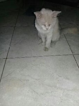 Kucing persia dan Anggora