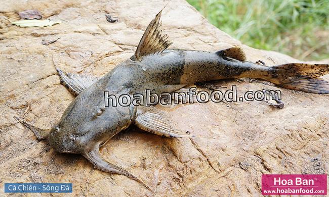 Cá Chiên - Sông Đà - Goonch Fish - 2