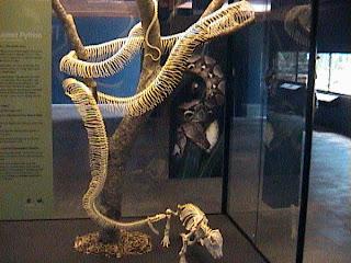 0170Snake Skeleton