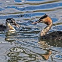 Primary 3rd - Great Crested Grebe feeding chick_Bob Long.jpg