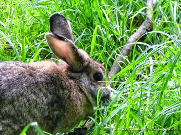 Conejo en el Humedal La Conejera