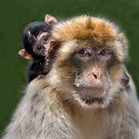 Intermediate 2nd - BARBARY MACAQUE WITH BABY_Rod Eva.jpg