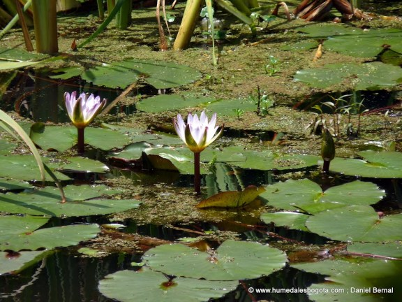 Flor de Loto en el humedal Santa María del Lago