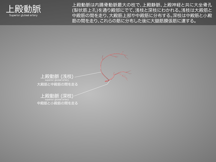 2014-28a_09_上殿動脈のみ.png