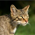 Intermediate 1st-Scottish Wildcat_Elaine Rushton.jpg