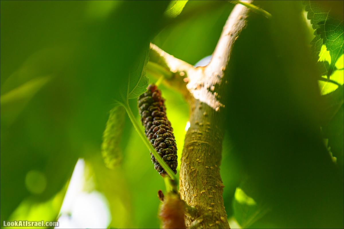 Сбор ежевики, шелковицы, малины в Израиле | Harvest berries in Israel | קטיף פטל | LookAtIsrael.com - Фото путешествия по Израилю