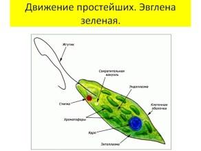 одноклеточный организм