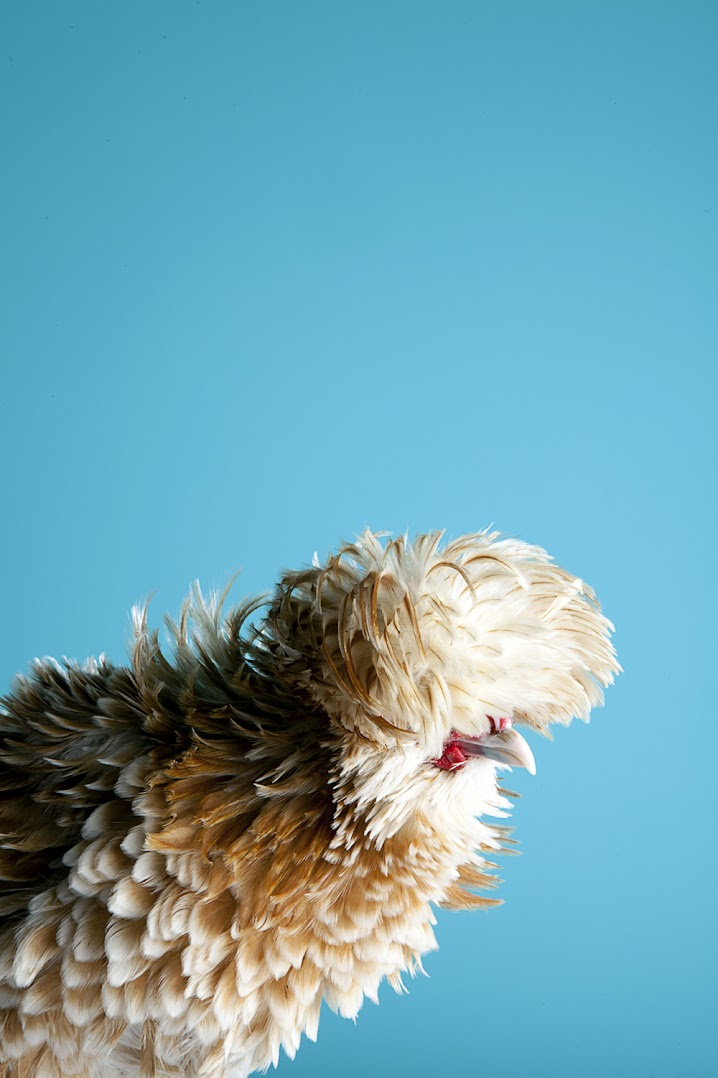 *MITCH PAYNE:現代家禽攝影系列 5