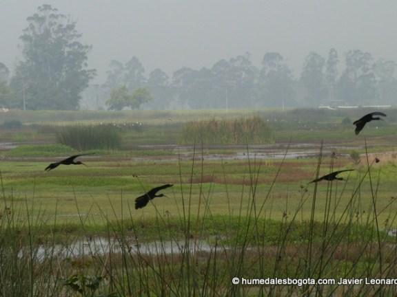 ibis humedal Meandro del Say. Bogotá