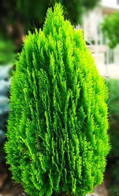 Arborvitae is beneficial for health by plantsbhh.in