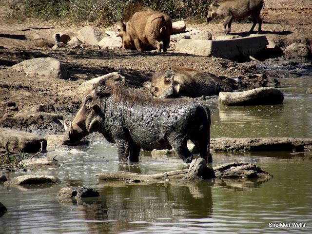 Warthog having a bath