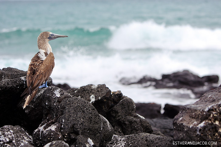 The Blue Footed Booby colony in the Wetlands Isabela Galapagos Island.