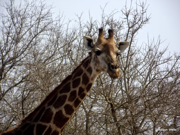 male giraffe at the hluhluwe imfolozi game reserve