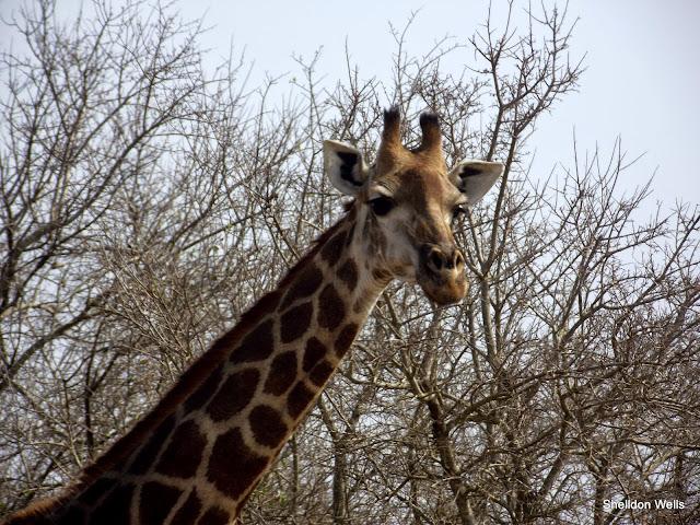 Giraffe at the Hluhluwe Imfolozi Game Reserve