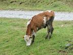 eine friedliche Kuh
