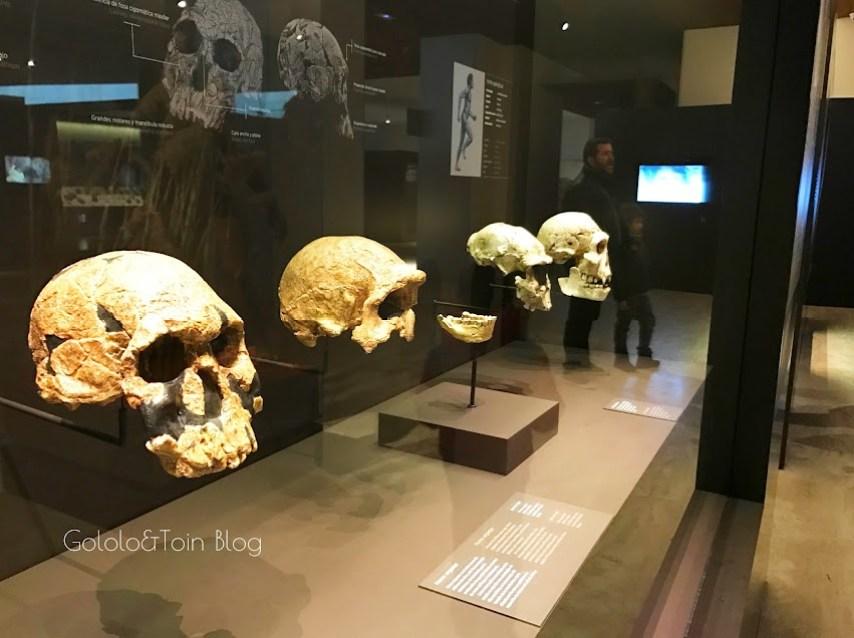 Cráneos de los primeros homínidos en el Museo arqueológico nacional