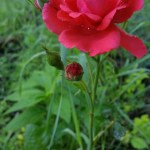 Roses in my rose garden