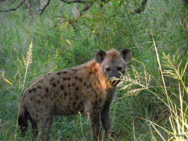 spotted hyena at hluhluwe imfolozi game reserve