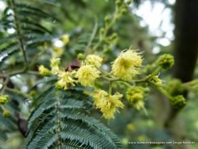 Flor acacia, Humedal El Salitre