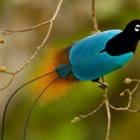 The Superb Bird-of-Paradise's Courtship Dance