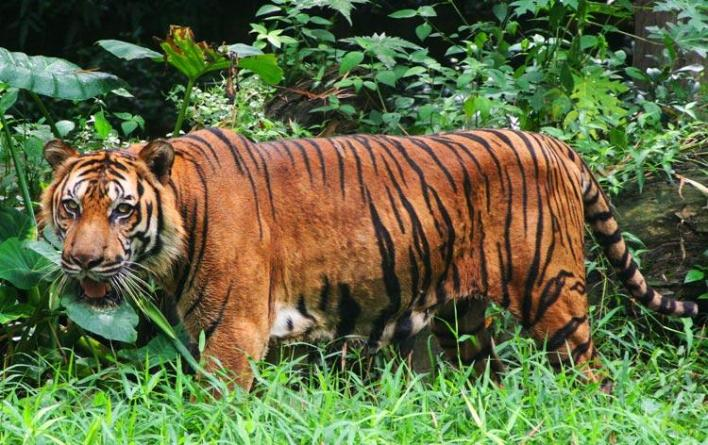 Image result for malayan tiger habitat
