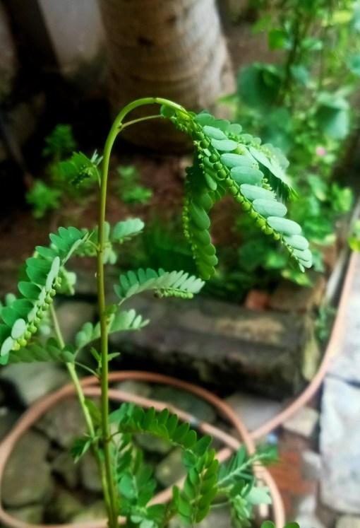 bhoomi amla health benefit by plantsbhh.in