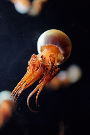 Flame Jellyfish Photos (Rhopilema Esculentum) at the Monterey Aquarium CA.