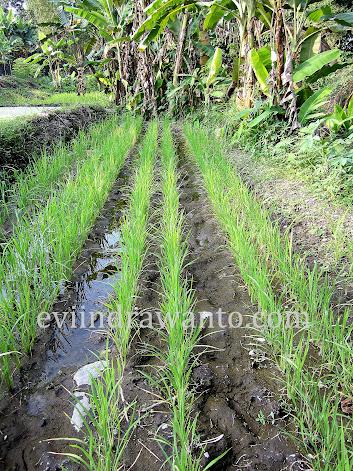 sawah padi organik