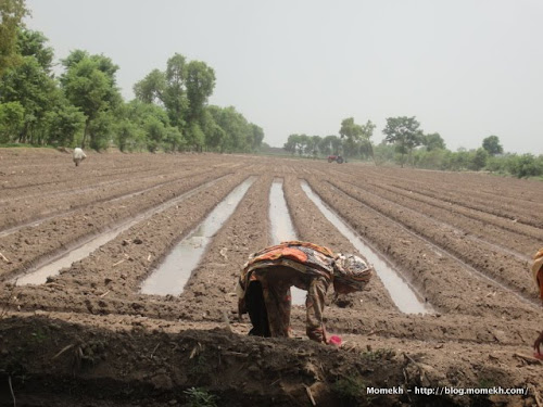 crop farming in Punjab, Pakistan