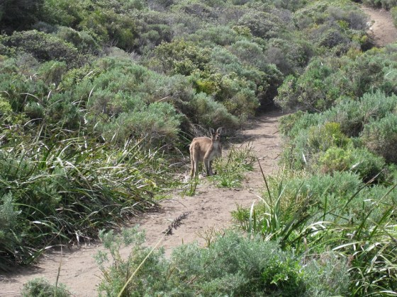 Skippy - On the way to Boodjidup Brook - Cape to Cape Track