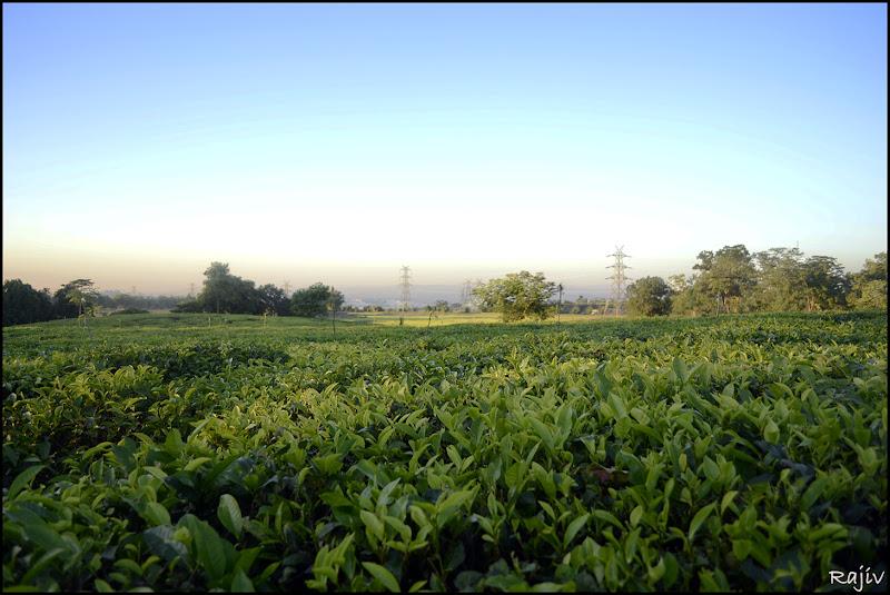 nit silchar tea garden Borakhai Tea-Estate