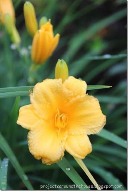 Stella D'Oro day lily