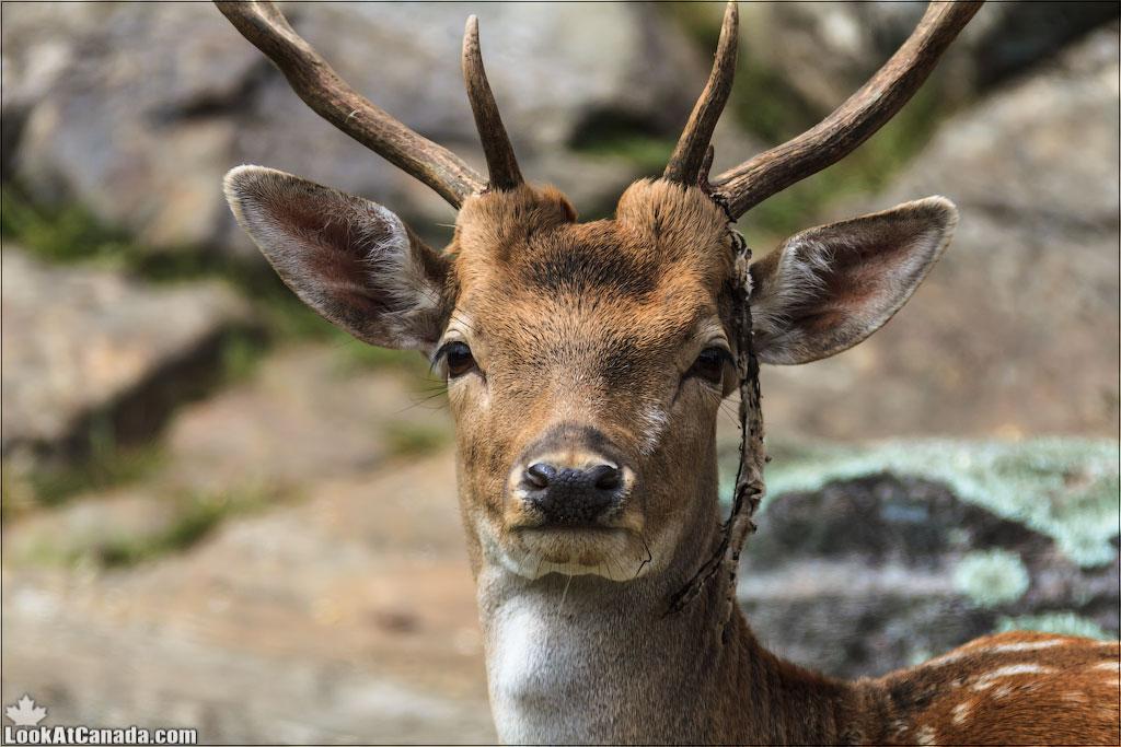 LookAtCanada.com / Парк «Омега» – канадское сафари провинции Квебек | LookAtIsrael.com - Фотографии Израиля и не только...