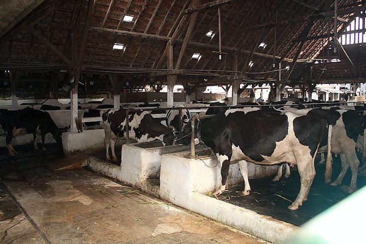 Sapi Bos taurus yang paling banyak menghasilkan susu