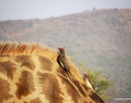 oxpecker on the back of a giraffe on our 3 day hluhluwe imfolozi game reserve tour