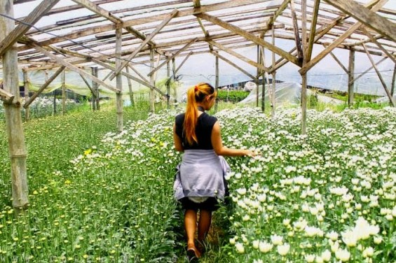 rose farm barangay bahong what to do in Baguio city activities destinations