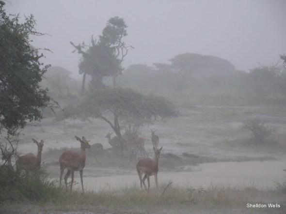 Wet Impala at Hluhluwe Imfolozi Game Reserve