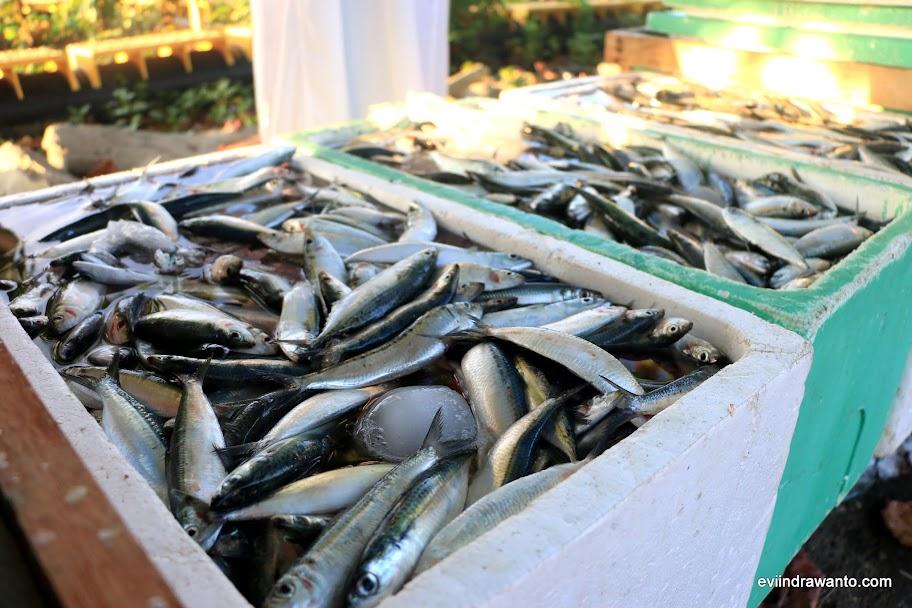 Ikan Sardin bercampur dengan Kembung