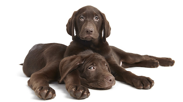 Пол собаки. Что выбрать: кобель или сука