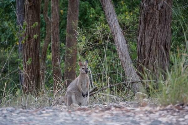Kangaroo roadside