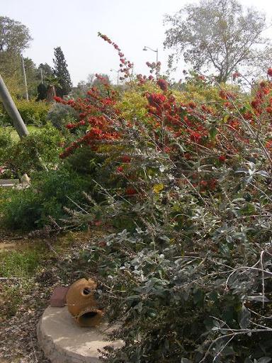 גדר חיה חופשית. בודליית דוויד פינק- דילייט, אדמום גדול גביע, אבליה גדולת פרחים מרווה מליסודורה