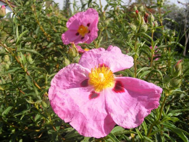 שני פרחים מקדימים כמה מאות ניצנים מאחור