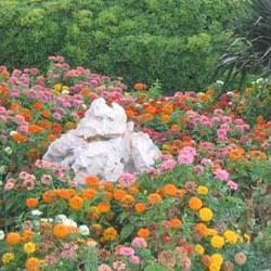 Асмера: цветы для дачи и сада фото