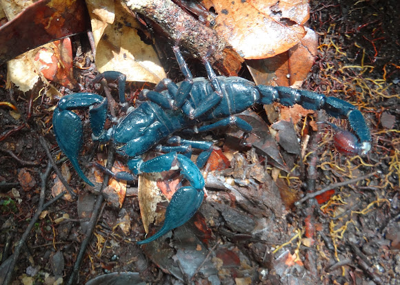 Giant Blue Scorpion Project Noah
