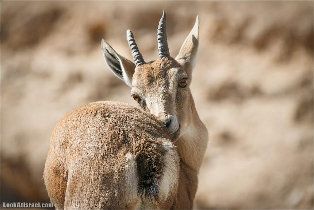 Ибексы на смотровой площадке в Мицпе Рамон | Сapra ibex nubian, Mitspe Ramon | LookAtIsrael.com - Фото путешествия по Израилю