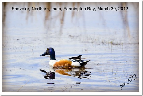 DSC_6600shoveler-northern-no-text