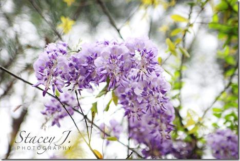 lilacs 003 copy